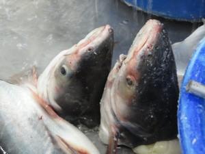De stofzuigermond van de Panga zorgt ervoor dat deze vis grote hoeveelheden 'biologisch materiaal' kunnen verwerken.