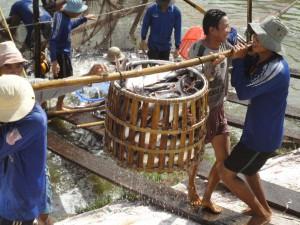 Vrolijk lachend worden de Panga's uit de vijver gehaald om over de dijk naar de vissersboot gebracht te worden. Een ritueel waarnaar uitgekeken wordt, gelet op de uitbundigheid van deze harde werkers.
