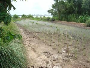 Rijst zal na 2011 weer interessant worden. Vooral als er GMO rijstrassen verbouwd worden. Die hebben minder water nodig en welicht moner bestrijdingsmiddelen. Dit is altijd een gezonder alternatief voor de Panga.