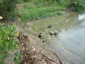 Gevaarlijk hoekje van een pangsius vijver in Vietnam. Om ziektes die hierdoor kunnen ontstaan  zijn veel 'geneesmiddelen' nodig die volgens de nVWA door regenwater vanzelf de vijver in zullen spoelen. Zo zit dat.