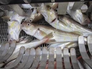 De stunner in vol bedrijf. Deze kabeljauwen blijven tenminste gedurende 20 minuten bedwelmd zodat er tijd genoeg is om de feitelijke dodingshandeling uit te voeren, het strippen van de vis.