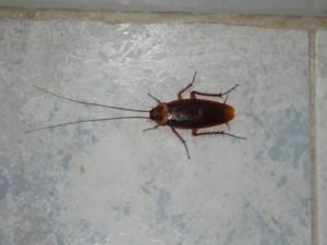 Veel supermarkt medewerkers zullen de 'Blattodea's' ofwel kakkerlakken als vaste huisdieren herkennen.