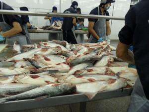 Vers gevangen Pangasiusvissen worden op de slachttafel aangevoerd om een minuut later in hun eigen bloed geruime tijd rond te zwemmen totdat de dood intreedt.