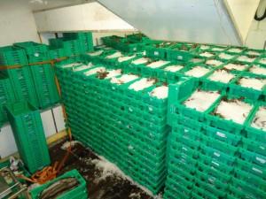 Zo'n 30 ton ISO - waardige Noordzee vis. Topkwaliteit. Deze vissen zijn op natuurlijke wijze groot geworden, hebben geen anti biotica geslikt en zijn vrij van medicijnen. 100% gezondheid en smaak!