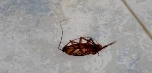 De Nederlandse vleesindustrie zal snel moeten schakelen om geen imagoschade te ondervinden door vergeleken te worden met deze Blattodea (Kakkerlak), die al het loodje heeft gelegd.