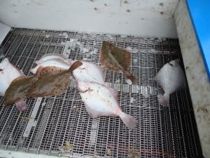 Bij het elektrisch bedwelmen worden de vissen op een stalen band aangevoerd waar ze onder stroomvoerende lepels getransporteerd worden. Doordat ze meerdere rijen lepels passeren bedraagt de verdovingstijd meerdere seconden.