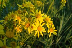 Dit schattige bloempje luistert naar de naam Senecio jacobaea is dodelijk als hier thee van gezet wordt. Dit kunt u beter uw schoonmoeder geven of boze buurman aanbieden.