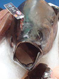 Deze snelle roofvis heeft stevig vlees met realtief veel bloed. Hierdoor is het vlees ook mooi helder rood. Als hij vers is tenminste.